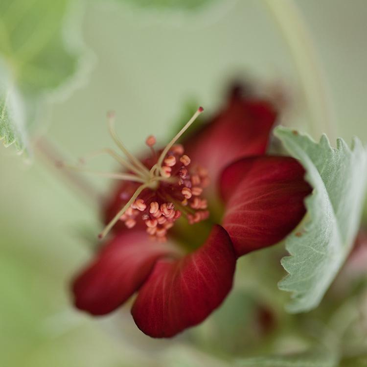 Ko`o loa ula, Abutilon menziesii, Koko Head Botanical Garden, native shrub in the hibiscus family.