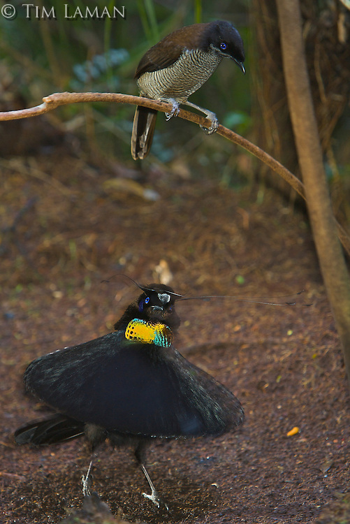 "Western Parotia Bird of Paradise.(Parotia sefilata) male performing ""ballerina dance"" display for a female."