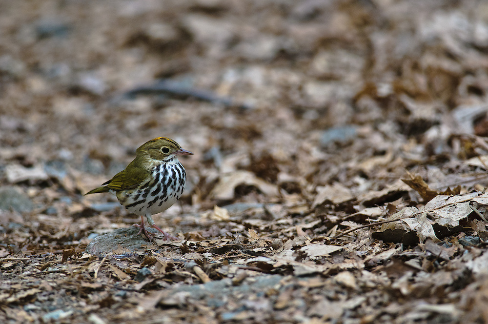 This is a little Ovenbird creeping along nearly unseen along the ground in the forests of Rocks State Park in Maryland.