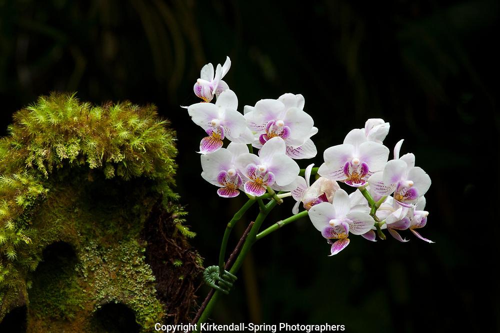 HI00332-00...HAWAI'I - Orchid in the Hawaii Tropical Botanical Garden near Hilo on the Island of Hawai'i.