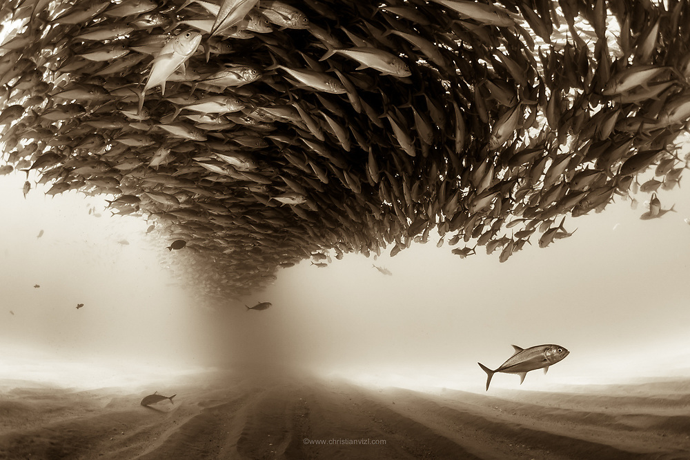 Mexico, Baja California, Sea of Cortez. A big school of Jacks forming a ceiling found at the protected marine area of Cabo Pulmo.