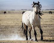 October 2017<br /> Eastern Sierra, wild horses, mustangs Wild horses/mustangs, Eastern Sierra Nevada high desert, California.