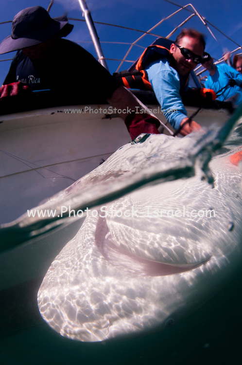 Researchers are tagging a sandbar shark (Carcharhinus plumbeus) in the Mediterranean sea. In recent years this shark has become more common in the Mediterranean especially near power plants hot water outlets. Photographed in March of the Hadera shore, Israel