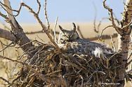 Female great horned owl on nest near Shelby Montana