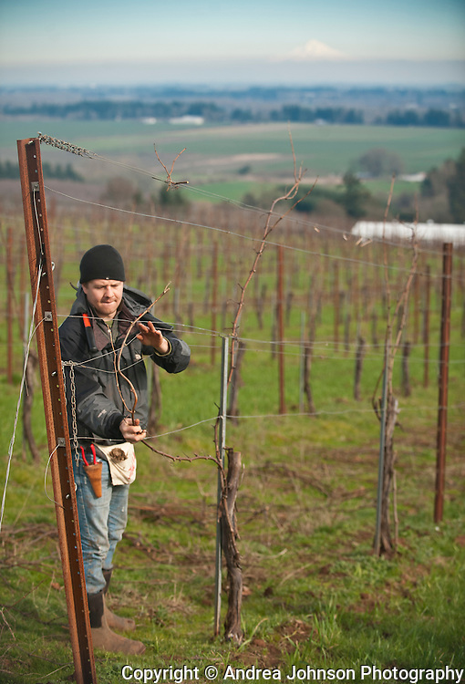 Pruning vines, Evening Land's Seven Springs vineyard, Eola Hills  AVA, Willamette Valley, Oregon