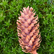 Closeup of a pine cone in moss