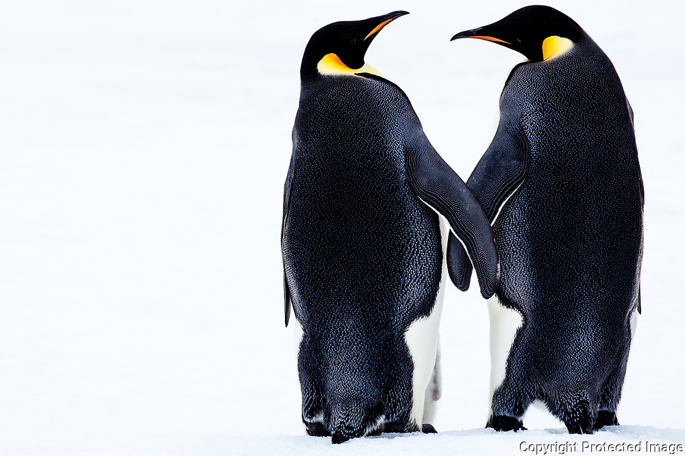 Emperor Penguins Holding Hands