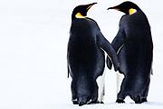Emperor Penguins Holding Hands