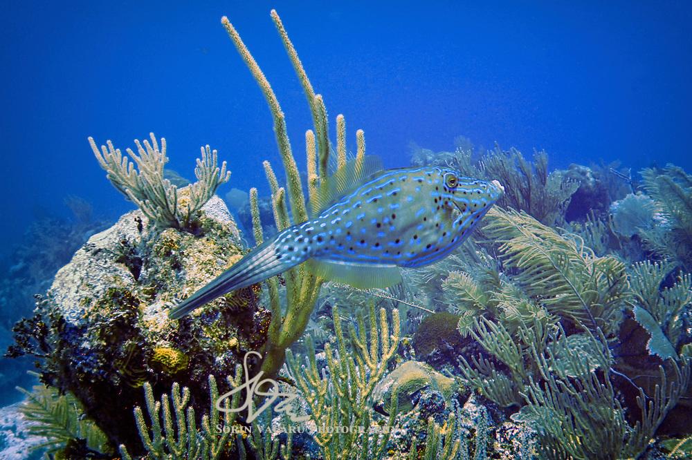 Scrawled Filefish on a leisurely swim