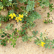 Lotus creticus, a genus of legume native to salty sand dunes (is a potentially important perennial legume for soil management in the Mediterranean climate.)