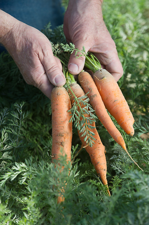 Farmer Holding Carrots