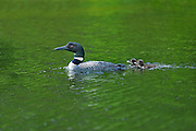 Great northern or common loon Gavia immer  with chicks on Snake Island Lake ( Cassels Lake)<br /> Temagami<br /> Ontario<br /> Canada
