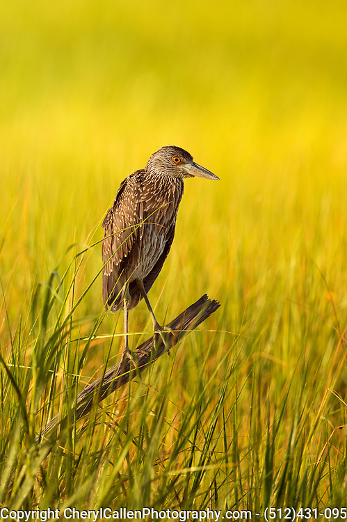 Juvenile Yellow-crowned Night Heron relaxing on a stick in the swampy area of Bolivar,Texas