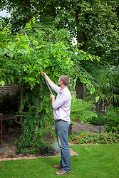 Using a long handled pruner to remove whippy summer growth from wisteria