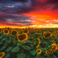 Summer sunset over drooping sunflowers, Yolo County, California.