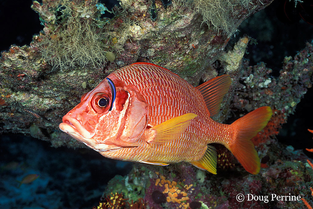 long-jawed or sabre squirrelfish, Sargocentron spiniferum, being cleaned by juvenile cleaner wrasse, Labroides dimidiatus, Helengeli, Maldives ( Indian Ocean )