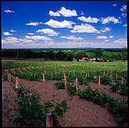 The vineyards at Cotes d'Ardoise in Dunham, Eastern Townships of Quebec, Canada