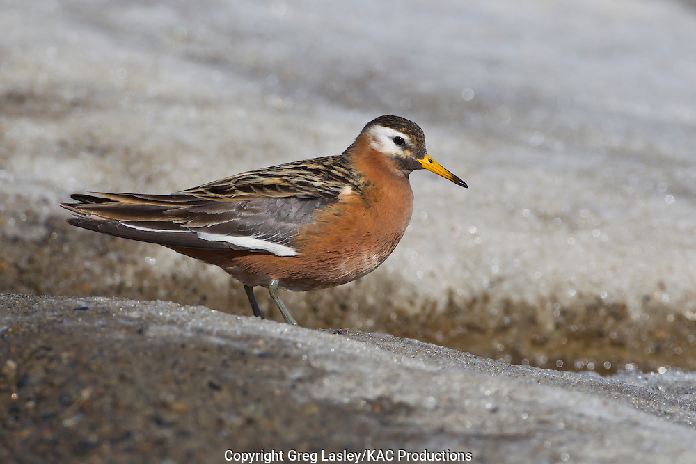 Red Phalarope<br /> Phalaropus fulicarius<br /> male<br /> Barrow, Alaska<br /> 11 June 2012<br /> 71.255<br /> -156.542