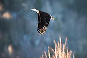 Wintering bald eagle flying over the Nooksack River, Deming, Washington