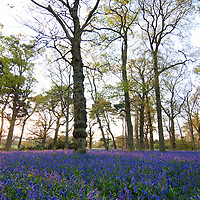 Bluebells in Oakwood, Oxfordshire UK