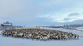 Reindeers - Harsjøen 2015