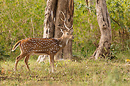 A chital stands in a clearing in the forest, Mudumalai National Park, India.