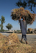 A farmer carries a bundle of harvested rice from a field in Larkana, Pakistan, on Tuesday, Jan. 22, 2008. Rising cereal prices worldwide may put 300 million rural poor at risk of starvation in South Asian countries such as India, Pakistan and Bangladesh, the Asian Development Bank said.