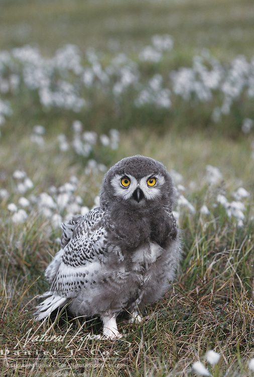Snowy Owl chick, almost in fledgling stage, in cotton grass. Barrow, Alaska