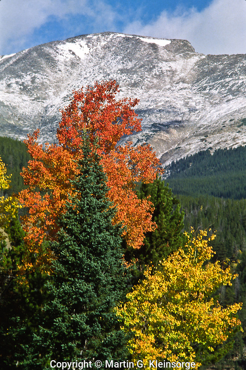 Aspen trees during the autumn season in Horseshoe Park below 13,503 ft. Fairchild Mountain of the Mummy Range.  Rocky Mountain National Park, Colorado.