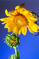 A sunflower dotes on its child