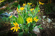Mule's ears on the Fern Lake Trail, Inyo National Forest, June Lake, California USA