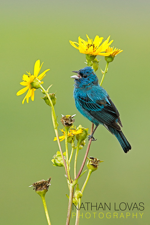 Male Indigo Bunting singing on yellow flower;  Minnesota.