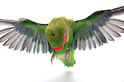 Cutout of a flying parrot on white background