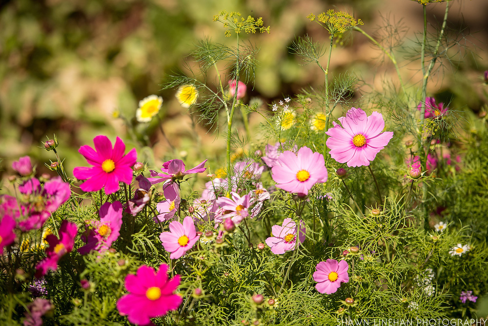 Flowers are planted alongside vegetables on organic farms to attract beneficial insects that help control pests.