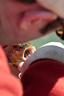 An angler carefully removes a fly from the mouth of a brown trout while fly fishing in the Driftless Area of southwest Wisconsin.