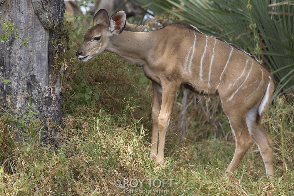 Juvenile Greater kudu (Tragelaphus strepsiceros), Duba Plains, Botswana