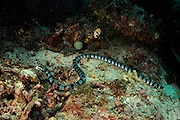 Belcher's sea snake (Hydrophis belcheri) Raja Ampat, West Papua, Indonesia, Pacific Ocean