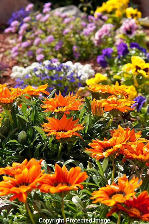 Colorful winter flower garden in Yuma, Arizona