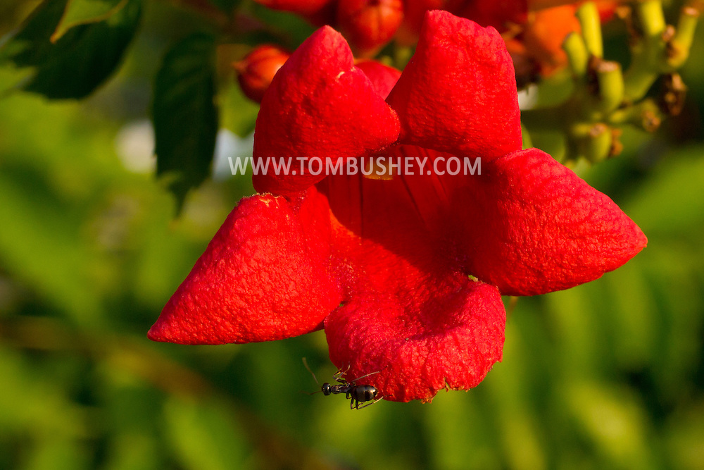 Middletown, New York - An ant crawls on a trumpet vine flower on Aug. 9, 2014.