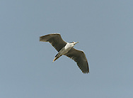 Night Heron Nycticorax nycticorax (L 60-65cm) is a stocky bird, adults of which are mainly black-and-white bird; juveniles are brown and spotted. It is active mainly after dark.