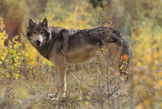 Gray Wolf, (Canis lupus) Portrait of adult. Rocky mountains. Montana. Captive Animal.