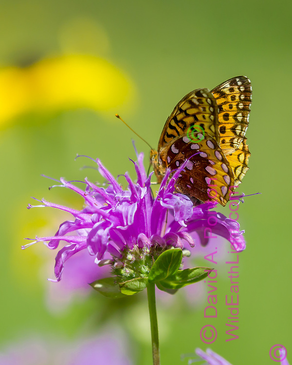 Fritillary butterfly feeding on nectar in horsemint blossom, selective focus, Jemez Mountains, NM. © 2010 David A. Ponton