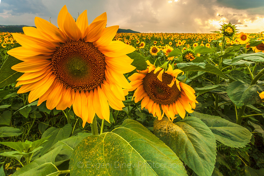 Sunflowers field at sunset