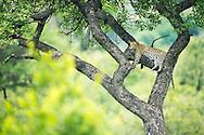 leopard, Panther pardus