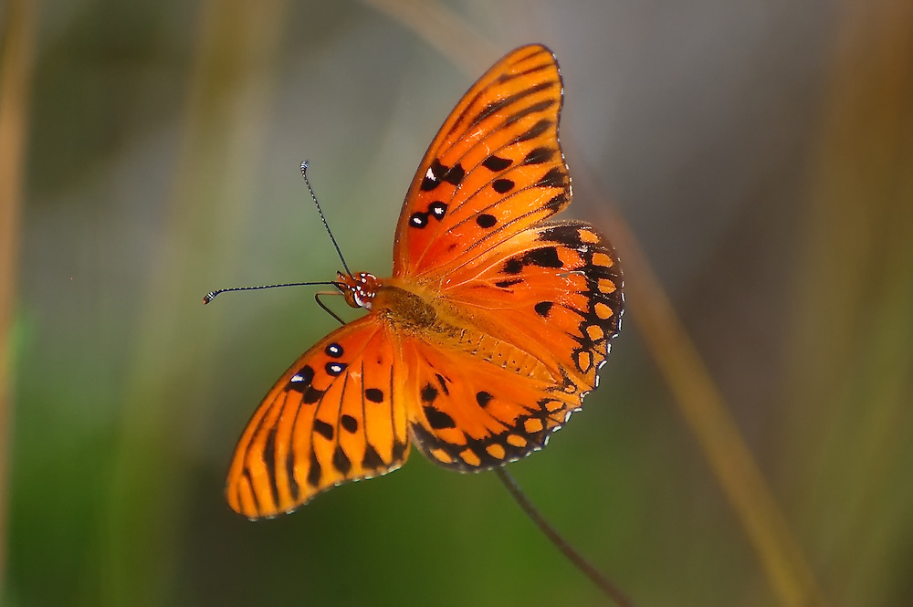 A beautiful gulf fritillary in the Big Cypress National Preserve.