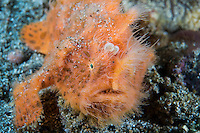 Orange Hairy Frogfish, lure retracted<br /> <br /> Shot in Indonesia