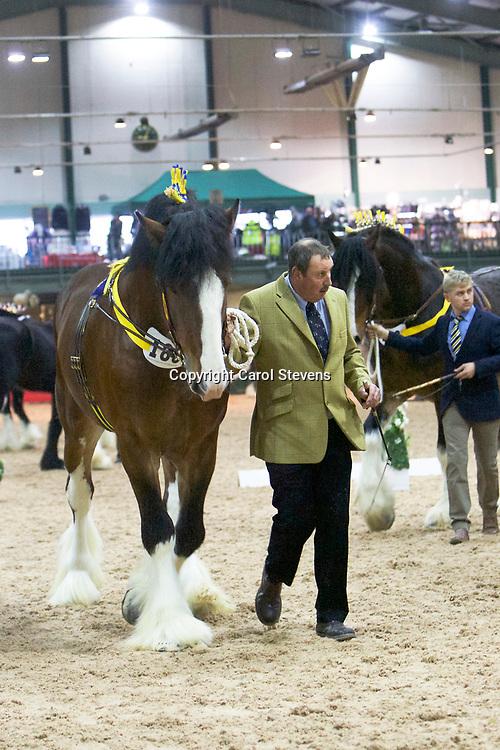Mr P M Clayton's TREM-Y-WYDDFA HUW'S CURIOSITY  (No.189)<br /> Sire  Ithersay Joseph<br /> Dam  Trem-Y-Wyddfa Rosemary<br /> 2nd  Stallions 4 years old