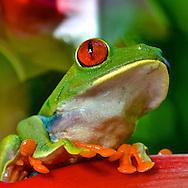 Red-Eyed Leaf (Tree) Frog (Agalychnis callidryas).