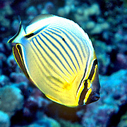 Redfin Butterflyfish inhabit reefs. Picture taken Vanuatu.