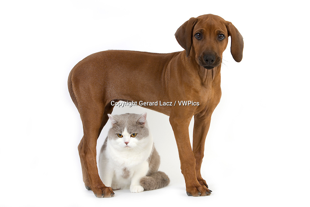 Lilac and White British Shorthair Male Domestic Cat and Rhodesian Ridgeback, 3 Months old Pup